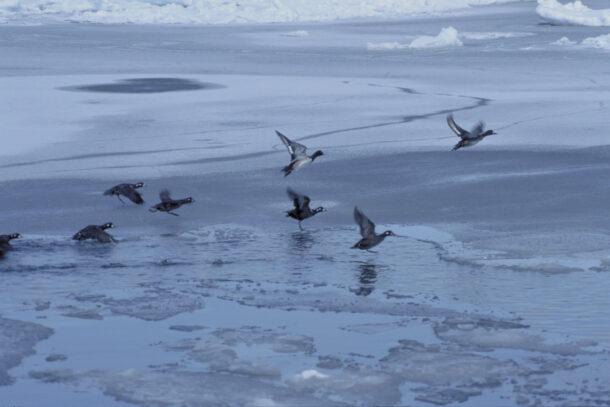 流氷と渡り鳥