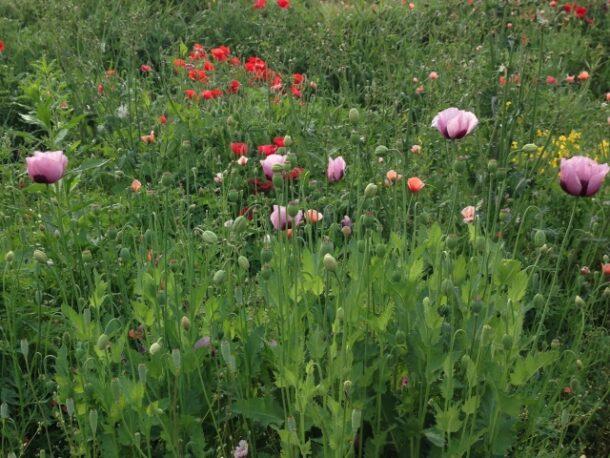 アヘンの花
